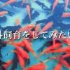 今は冬ですが、屋外飼育で金魚を飼育する書きます