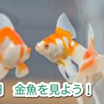 毎日金魚を見よう!体調管理は見ることから