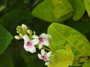 Bunga nikon