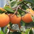 柿狩り,柿狩り 時期,柿狩り 服装,柿狩り 時期 関西,柿狩り 時期 服装,柿狩り 時期 持ち物,柿狩り 関西 農園