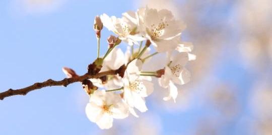 桜の開花予想はいつからなのかご存知ですか