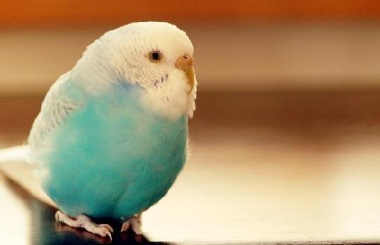小鳥 飼う おすすめ