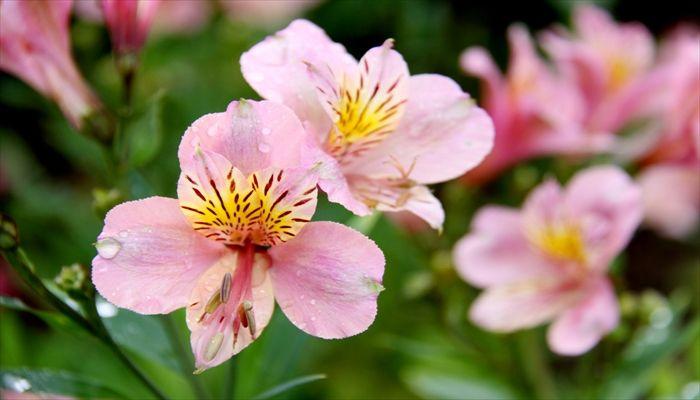 ジューンブライド 花 アルストロメリア
