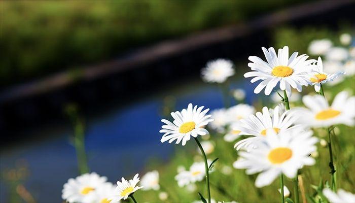 ジューンブライド 花 マーガレット