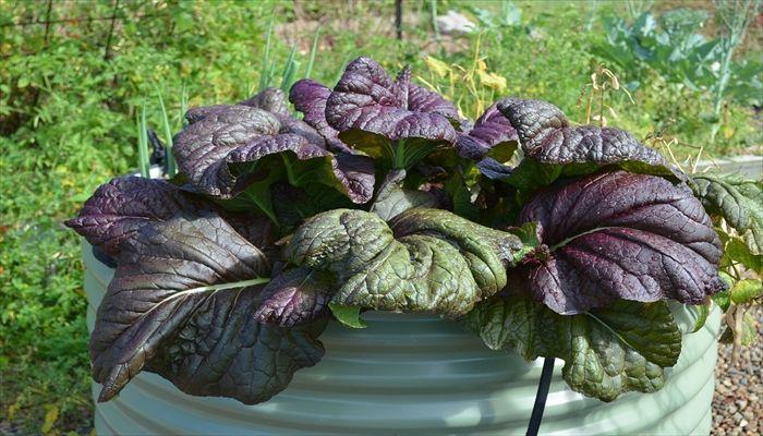 葉野菜 保存 高菜