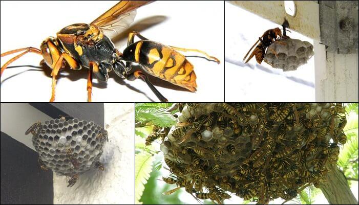 アシナガバチの巣 見分け方