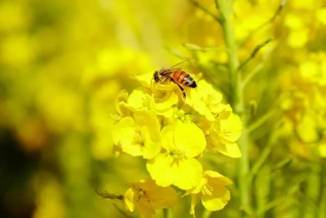 菜の花にとまるミツバチ
