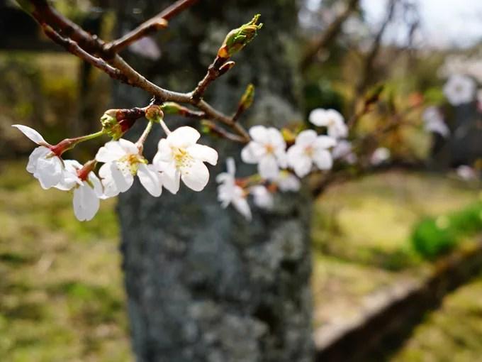 桜(鮮やか)