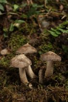 13/11/04 宝ヶ池 ハタケシメジ Lyophyllum decastes