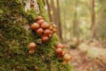 2013/11/09 花背交流の森 ナメコ Pholiota microspora