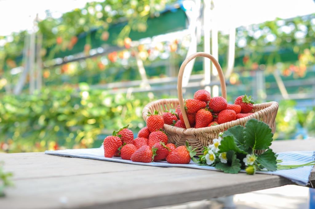 イチゴ狩りのご予約の受付開始について。