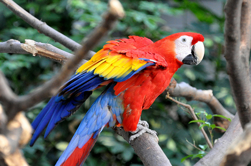 Amazon-Scarlet-Macaw.jpg (500×332)
