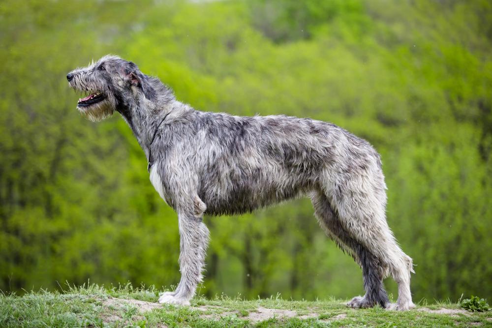 Los perros más grandes del mundo: Lobo irlandés.