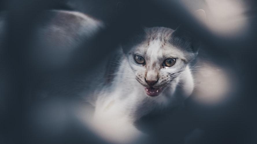 Kedi yabancı bir nesne nedeniyle tükürük var