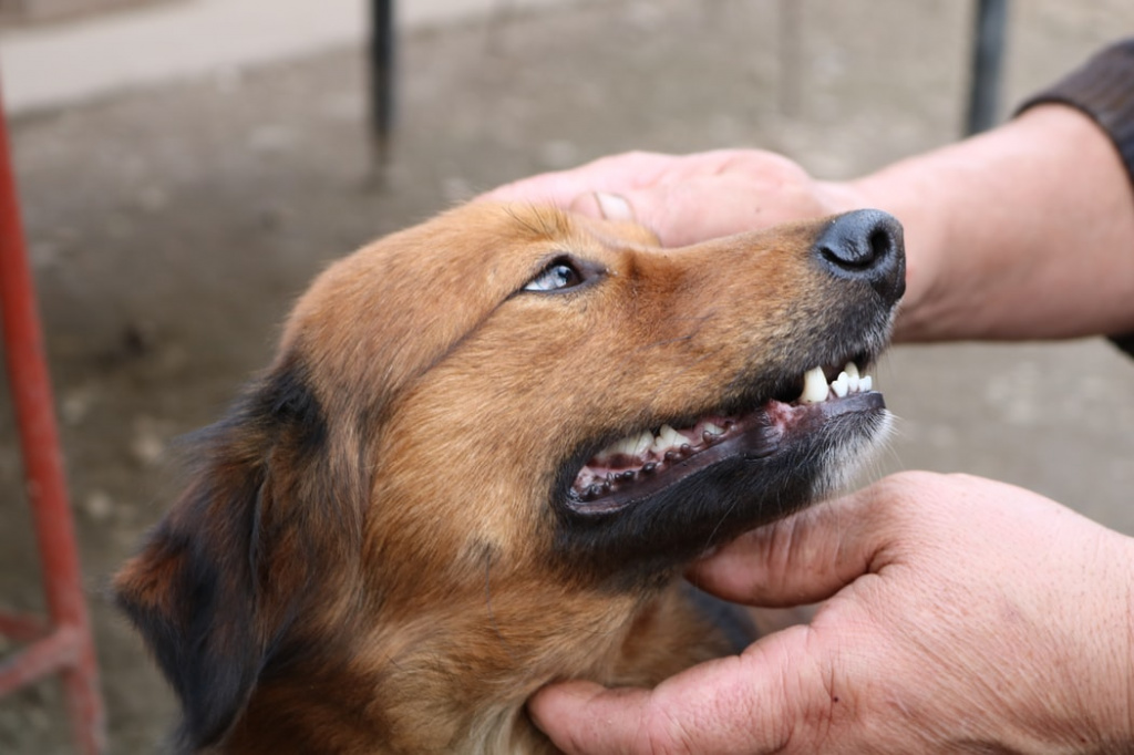 how to determine the age of dogs on the teeth