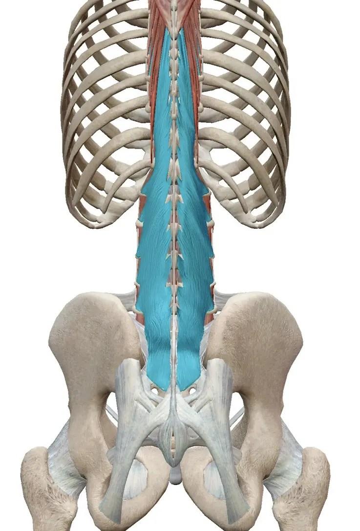 多裂筋は觸診できるの?~解剖學的知見から紐解く~ | きんたろーブログ