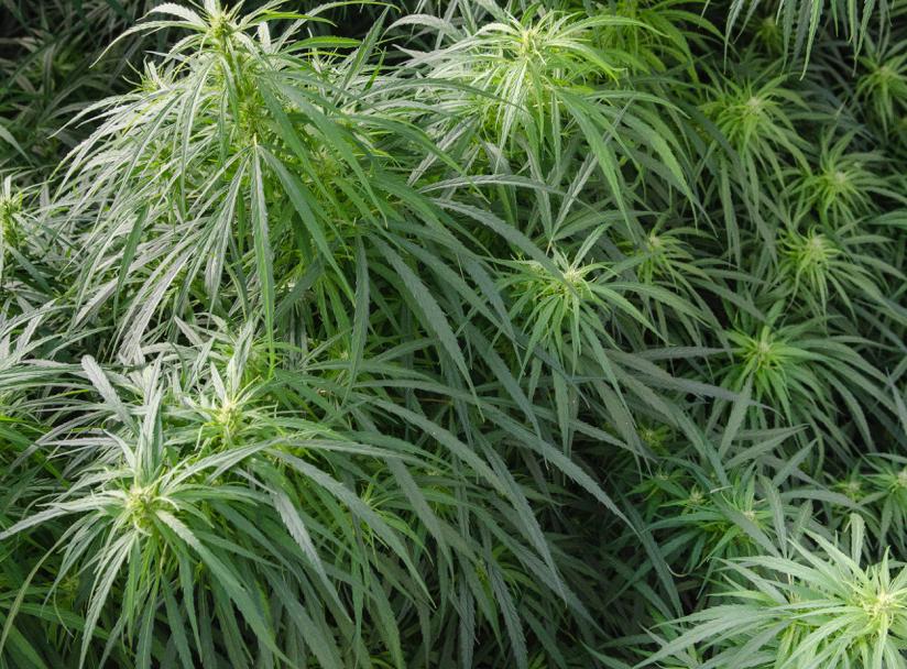 Kiona sativa cannabis leaves