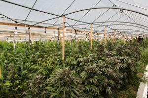 Kiona sun grown cannabis natural horticulture