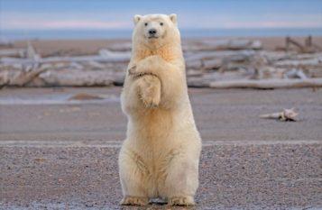 Polar Bear 🌟 Сипаттамасы, ерекшеліктері, ауданы, түрлері, азық-түлік, өмір салты, фото және видео