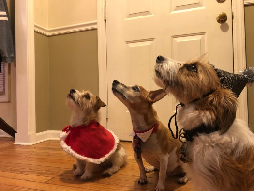 View from the floor of Kaylee in a red cape, Chance in a collar and tie, and Myka in a shiny hat all looking up to a point off-camera (where my husband is holding a treat)