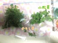 ルッコラ・小松菜・からし菜・春菊の間引きと反省点