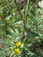 Sonchus oleraceus - Eşekmarulu