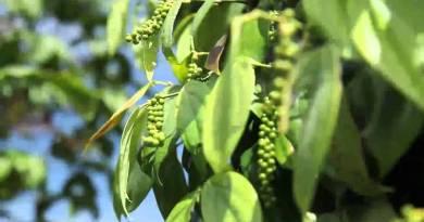 ಶ್ರೀಲಂಕಾ ಕರಿಮೆಣಸು ಆಮದು ನಿಷೇಧ:ಉತ್ತಮ ಬೆಲೆ ನಿರೀಕ್ಷೆ