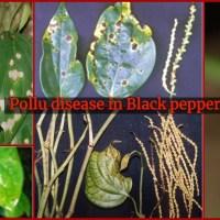 Pollu disease(Anthracnose) in Black pepper