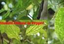 Stunted disease in Pepper