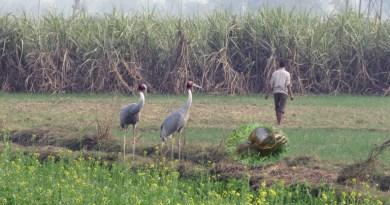 ಬಸವನಹುಳ ಸಂಹಾರಕ್ಕೆ ಲಗ್ಗೆ ಇಟ್ಟ ದೈತ್ಯ ಆಫ್ರಿಕನ್ ಕೊಕ್ಕರೆ