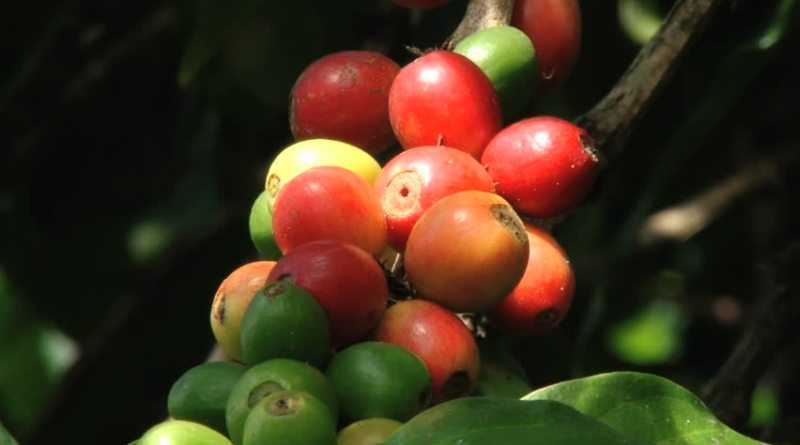 ARABICA:OPERATIONS TO BE CARRIED OUT DURING JUNE-JULY MONTHS