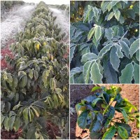 Brazil frosts hit Coffee: Arabica Damaged