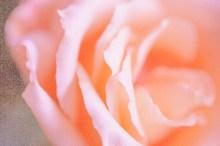 薔薇 サーモンピンク アップ