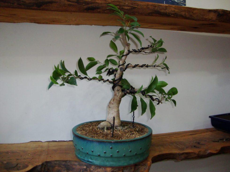 Blog Pagina 3 De 7 Kirise Bonsai Naturaleza En Maceta