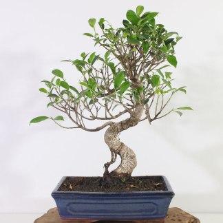 Ficus K1369