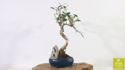 Ficus_2