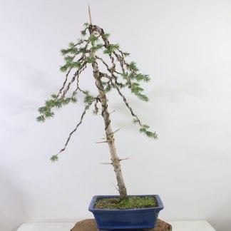Picea K1395