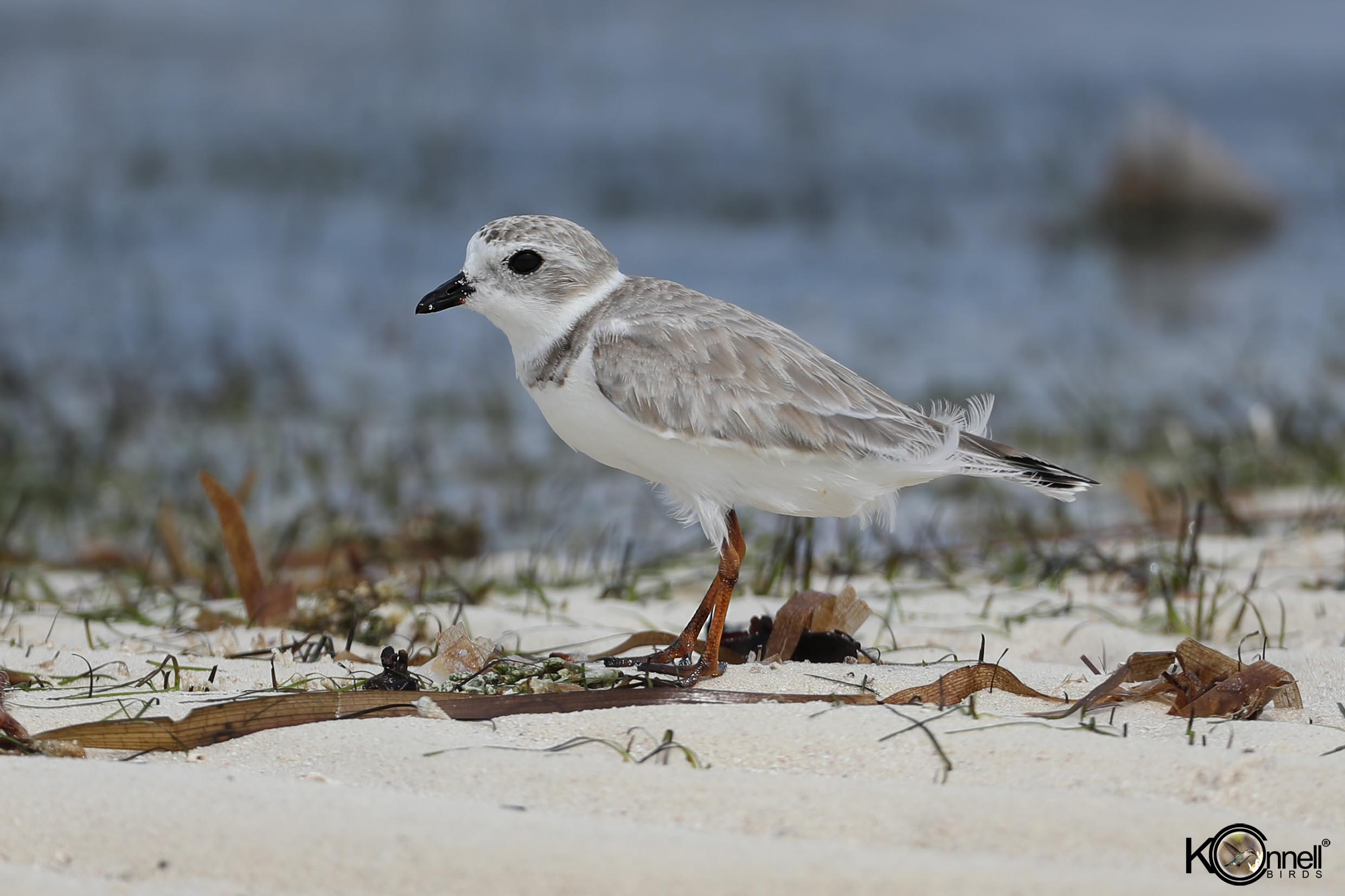 Piping Plover - Birding in Cayo Coco