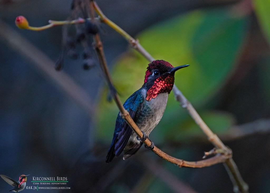 Birding Cuba
