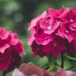 Aniliininpunaisia hortensioita