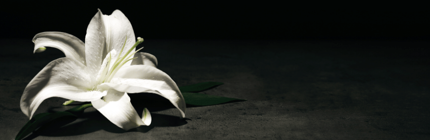 cremation - white lily on dark background