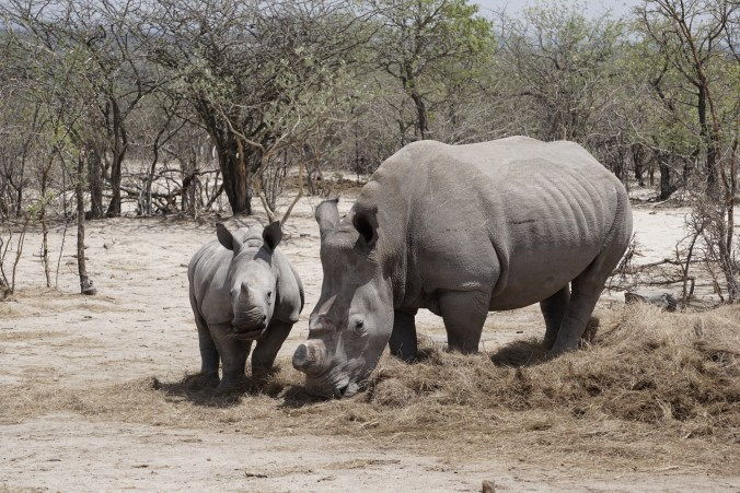 Mother Rhino and Calf