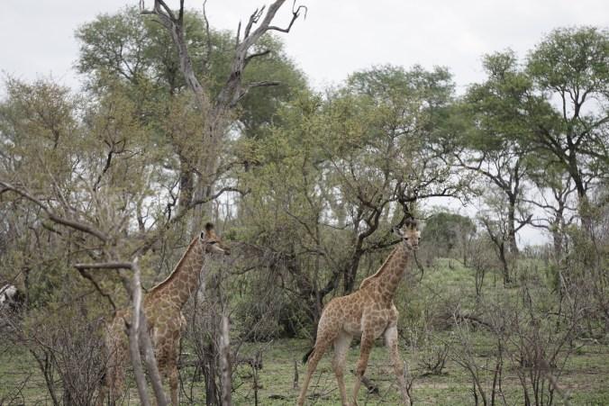 Young Giraffes
