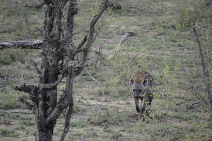 Male Hyena
