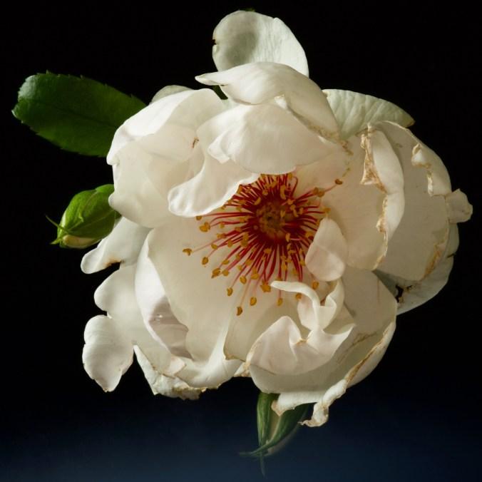 distressed-rose