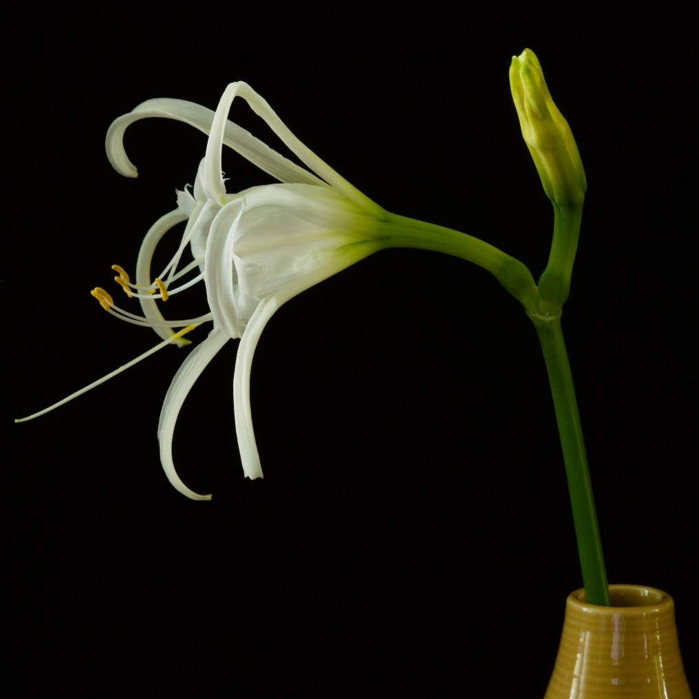 peruvian-daffodil2