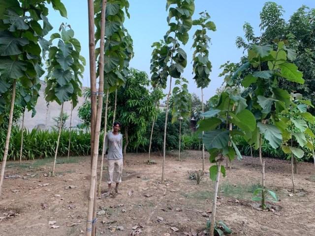 Tall teak trees