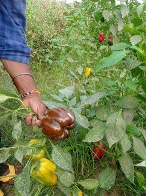Bell pepper harvest