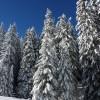 クリスマスツリーの木の種類や名前の数に驚愕!庭での植え方も紹介!