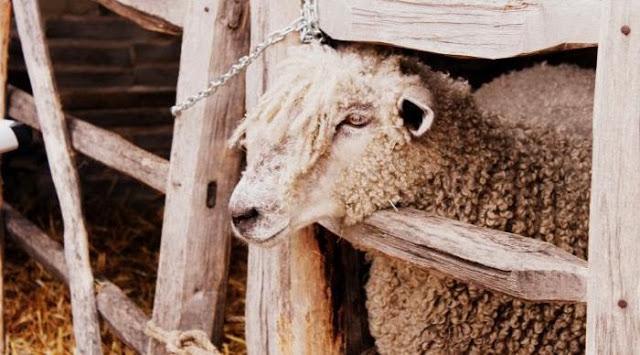 lammas-aitauksessa-kirsihallaseppala